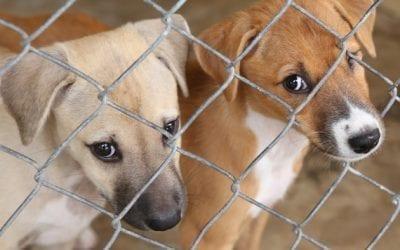 Pedigree versus Rescue Dogs